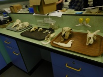 Working with animal bones