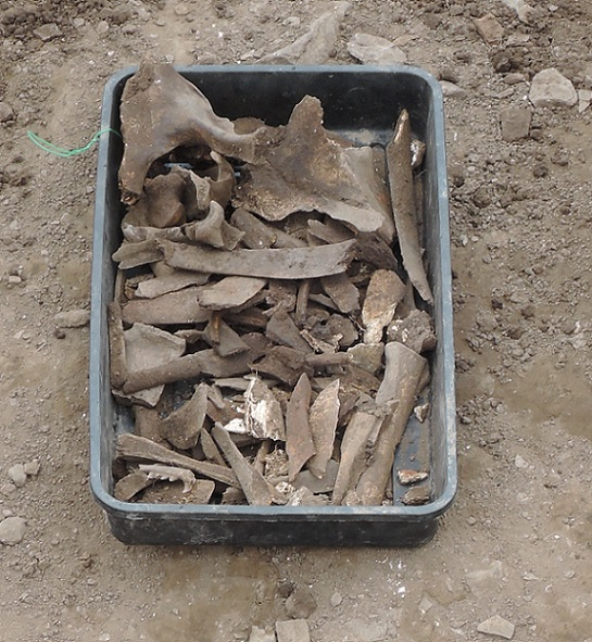 Just one of the trays of animal bone recovered from the ditch today